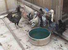 4 دجاج عربي للبيع