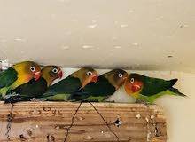 طيور فيشر إنتاج محلي 100%