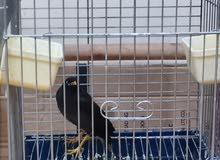 Bird (Myna)