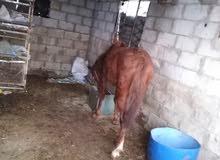 حصان  العمر سنتين حراث وركوب وعقاله.. على لركوب نار