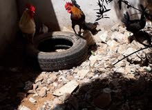 دجاج حربي للبيع