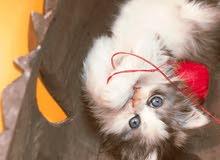 للبيع قطة هاف بيكي مستوردة من خارج مصر