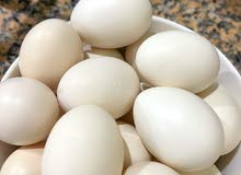 fresh chicken eggs for eating and hatching