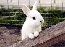 white bunny rabbit for sale