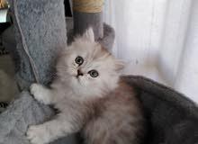 Persian chinchilla - Male - 1.5 months