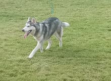 كلب هاسكي سيبيري