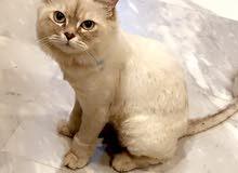 قطة شانشيلا عمر 8 اشهر