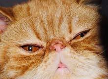 قطط تزاوج فقط