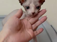 Sphynx Kitten 5 months old