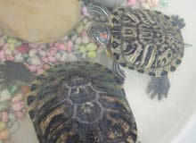two turtles aged almost 4 years price negotiable