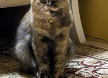 Persian cat for sale40