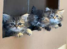 قطط شيرازي-مينكون للبيع