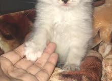 قط شيرازي هيملايه للبيع