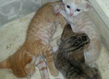 قطط مهجنة شيرازي مع بلدي للبيع