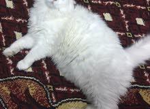 قط شيرازي للتبني