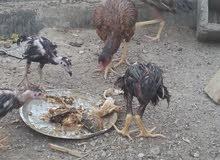 دجاجه هنديه مع اربع افراخ هندي عمرهن شهرين بحاله جيدة