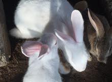 يوجد ارانب للبيع زوج اللون وأيضا زوج ابيض كامل  اللون الابيض الخالص ب17
