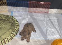 كلب ميني بيور العمر صغير