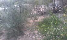 منزل مأثث مع حديقة جميلة مليئ بالاشجار المثمرة  بالكاف ... ساقية سيدي يوسف