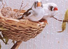 one breeding pair of zebra finches