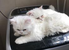 قطط ذكر أعمارهم 6 شهور من ام تركيه واب شيرازي......