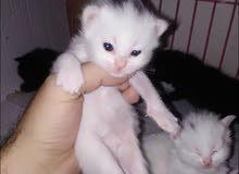 قطط مميزه شانسيلا العيون زرقاء