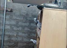 طيور منازل