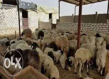 مزارع واراضى للبيع فى القاهرة الكبرى بالقرب من الهرم ووسط ارياف الفيوم