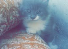 قطه مكس انجورا وكنعاني