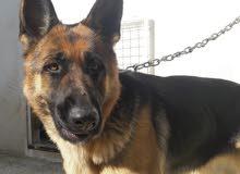 كلب برجي ( Berger Allemand) أنثى عمرها سنة و 4 أشهر