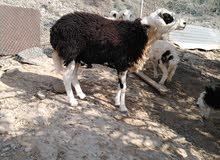 كبش عماني اصيل