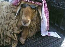 نقل اضاحي القصيم _ بريدة ..