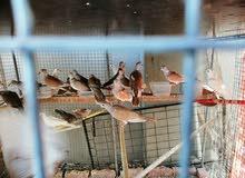 طيور البادجي وحمام العفاد