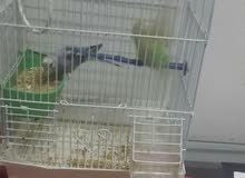 طيور بادجي اليفه للبيع