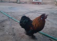 بيض دجاج كوجن