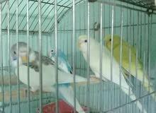 عصافير شهرين و نص