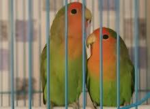 جوز روز love bird peach faced