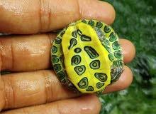 small turtles retail&wholesale