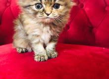 قطه شيرازي مون فيس للبيع سعر القطه1100 لحالها سعر القطه مع مستلزماتها 1500 مطعمه