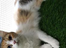 قطه همالايا شيرازي مكس للبيع