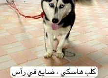 كلب مفقود
