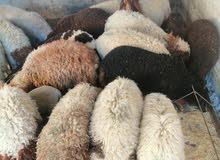 8 عبر 2 خروفين لحم ومقنوا صلات نبي لحم