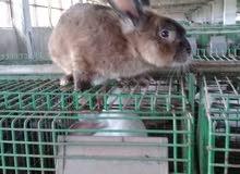 أرانب منتجة للبيع