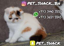 قطط اكزوتك بيكي فيس للبيع // Exotic Peke face for sale