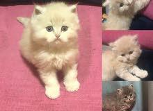 قطة شرازية للبيع