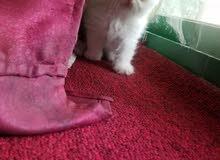 قطة انثى للبيع من أب هملايا بيكي فيس ومن ام شيرازي بيكي فيس