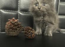 ققط فارسيه للبيع