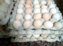 بيض عربي