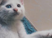 قطط شيرازيه للبيع او البدل