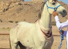 حصان فحل للبيع